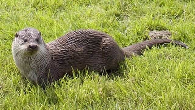 The recovery in otter numbers has been so successful that native fish are  under threat and some anglers believe controls may be needed