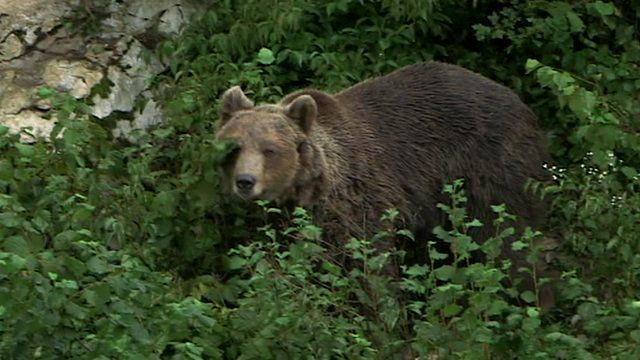 European bear in low-level forest greenery
