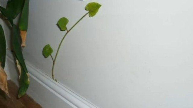 Japanese knotweed growing inside