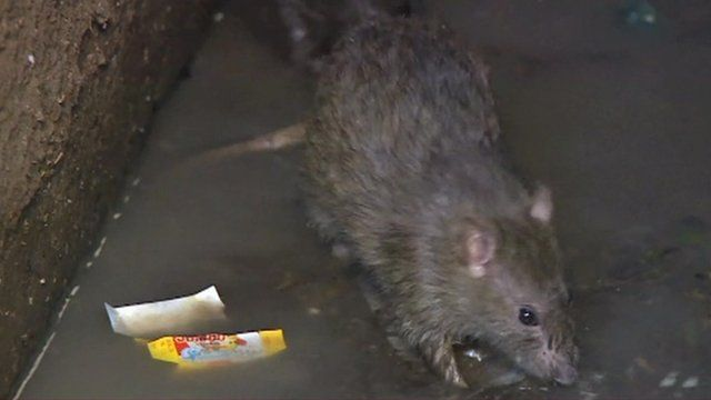 A rat in a Madagascan prison