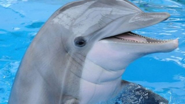 Dolphin-inspired radar could help detect roadside bombs