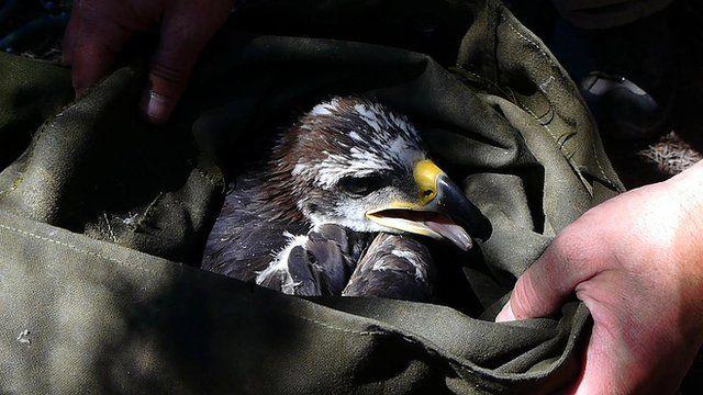 A golden eagle in a bag