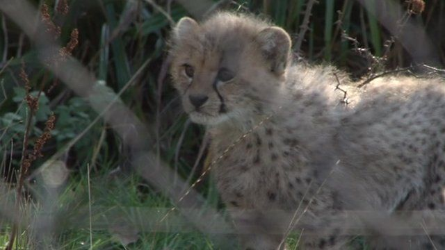 Cheetah cub born at Port Lympne Wild Animal park