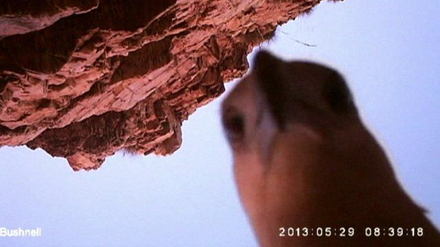 Eagle peering into camera