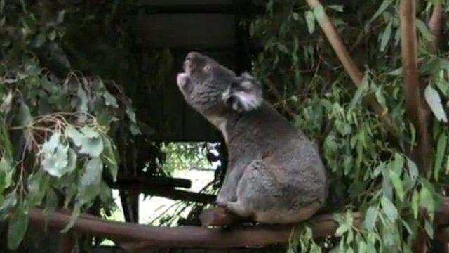 Koala (c) Benjamin Charlton