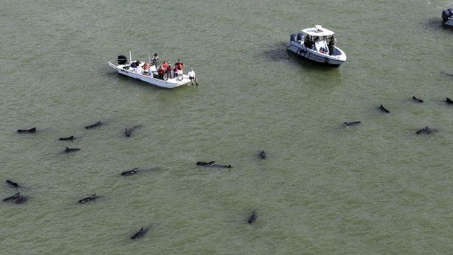 "Officials in boats monitor the scene where dozens of pilot whales are stranded in shallow water in a remote area of Florida""s Everglades National Park, Wednesday, Dec. 4, 2013"