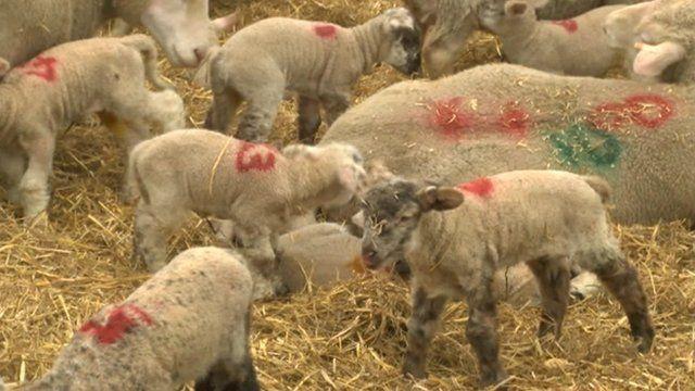 Lambs on David Barber's farm