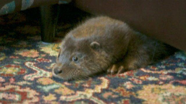 Conrad the otter