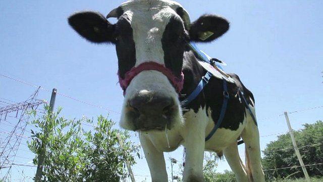 'Biomethane' the bull