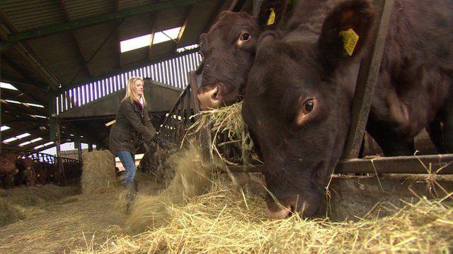 A farmer feeding cows on a livestock farm in Shropshire