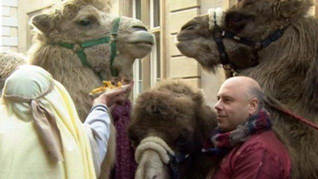 Camels eating chips