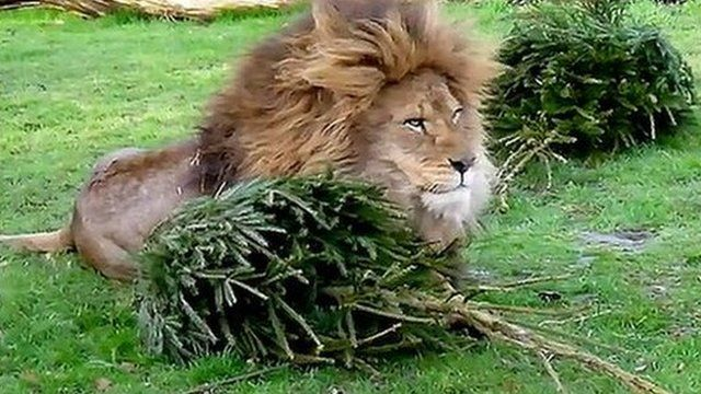 Male lion with Christmas tree