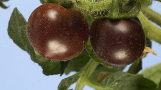 Genetically-modified purple tomatoes heading for shops