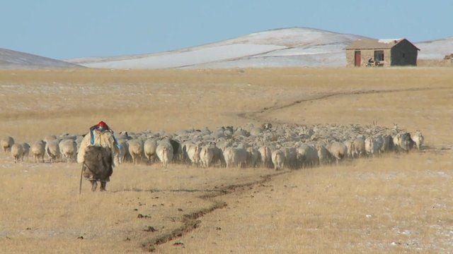 Herding sheep on the grasslands of Inner Mongolia