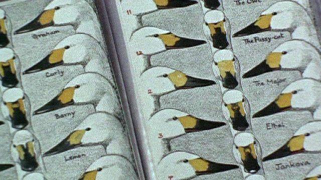 Illustrations of Bewick Swans