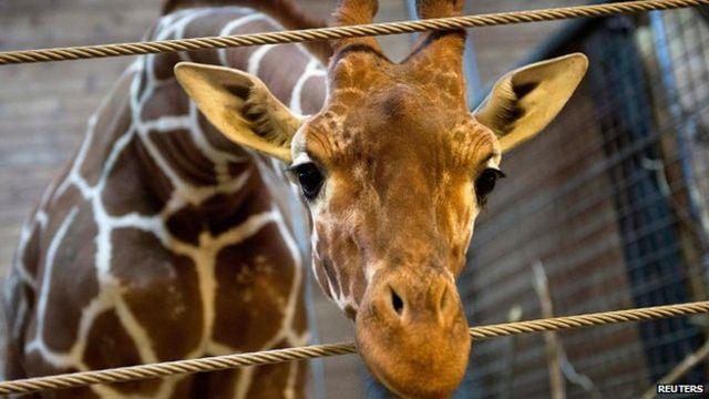 Second Danish zoo may kill a giraffe called Marius