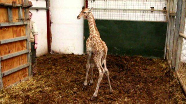 Baby giraffe at Cumbria zoo