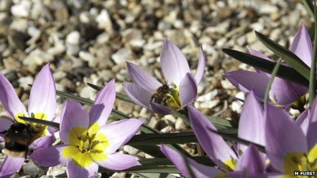 Bumblebees infected with honeybee diseases