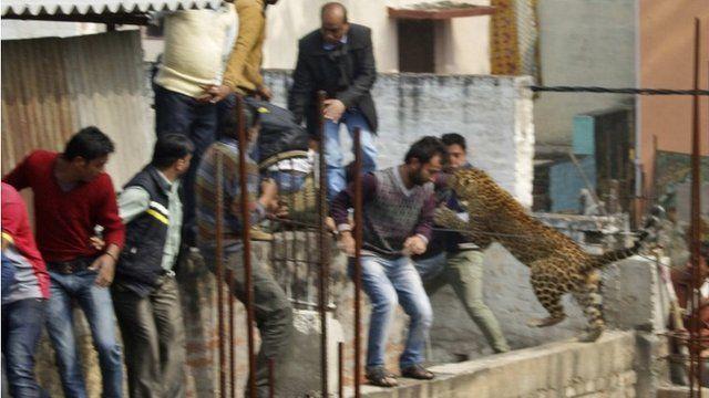 Leopard jumps at men