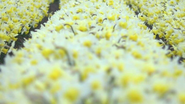 Daffodils in Lincolnshire