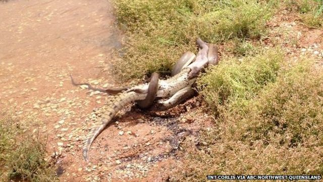 Australia: Snake eats crocodile after battle