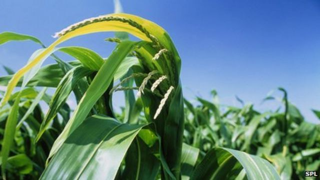 GM crops: UK scientists call for new trials