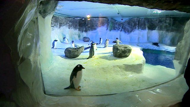Penguins playing in their home
