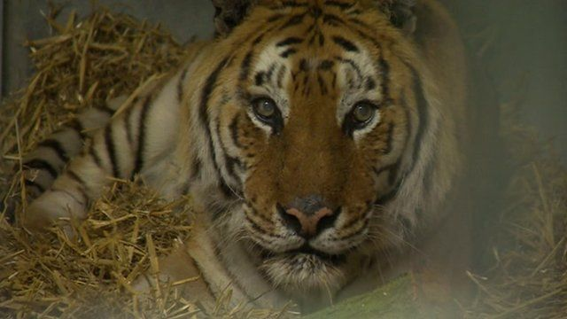 A pair of tigers rescued from a German circus are settling into their new home in Lincolnshire