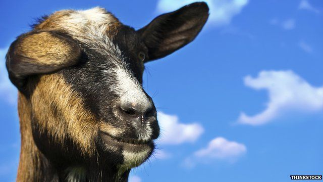 Goat against the sky
