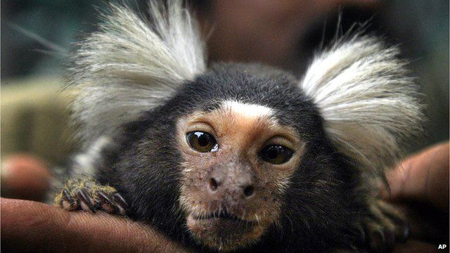 A marmoset