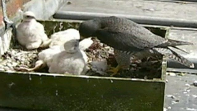 Peregrine falcons nesting in Manchester city centre