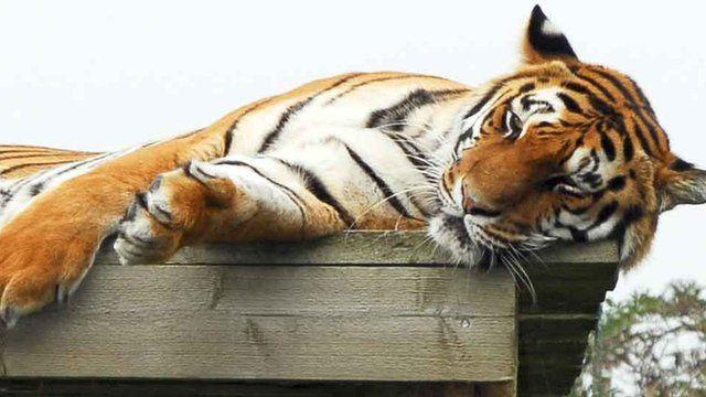 Tiger at Shepreth Wildlife Park