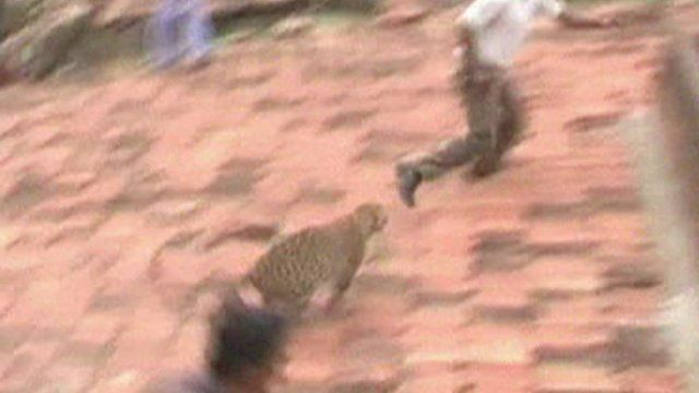 Leopard chases man on roof
