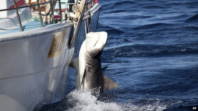 More than 170 sharks caught under Australia cull policy
