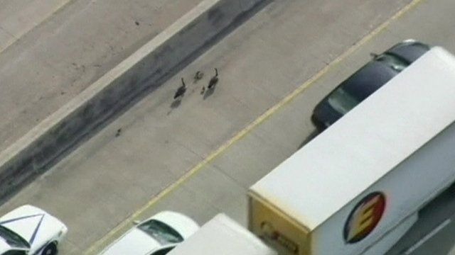 Geese on busy road
