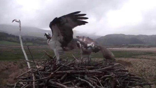 Webcam image of Cors Dyfi ospreys