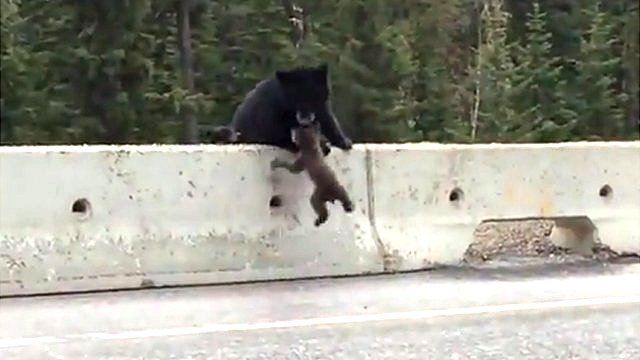 Bear lifting bear cub to safety