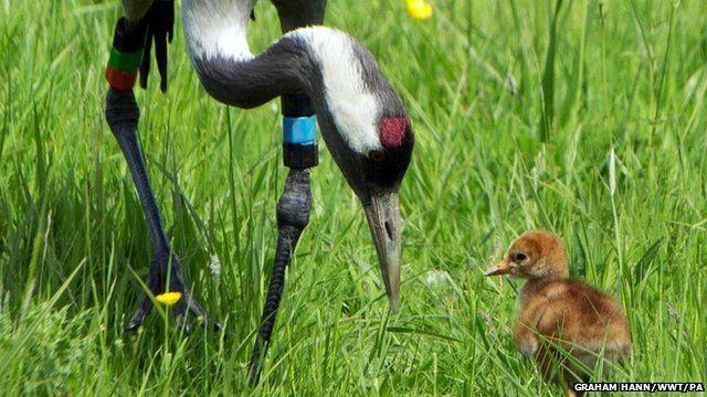 Crane chick and adult at Slimbridge