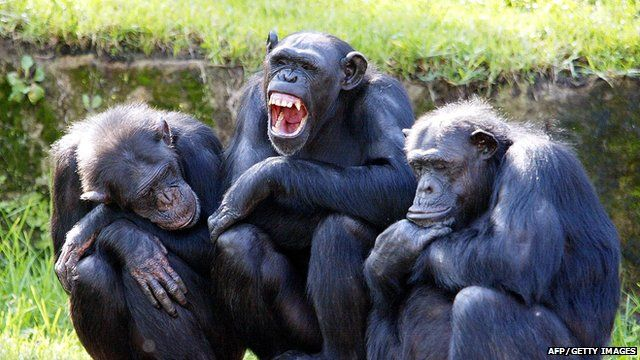 Three chimps sat on a log
