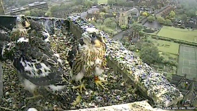 Norwich Cathedral peregrine falcon chicks