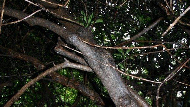 Branches of a yew tree
