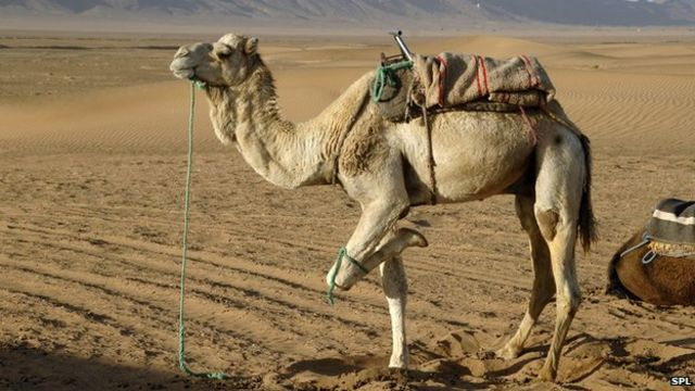 Camel infection 'led to Mers death'