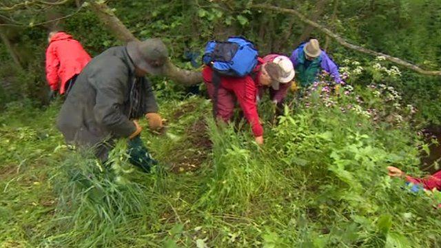 Volunteers battle weed