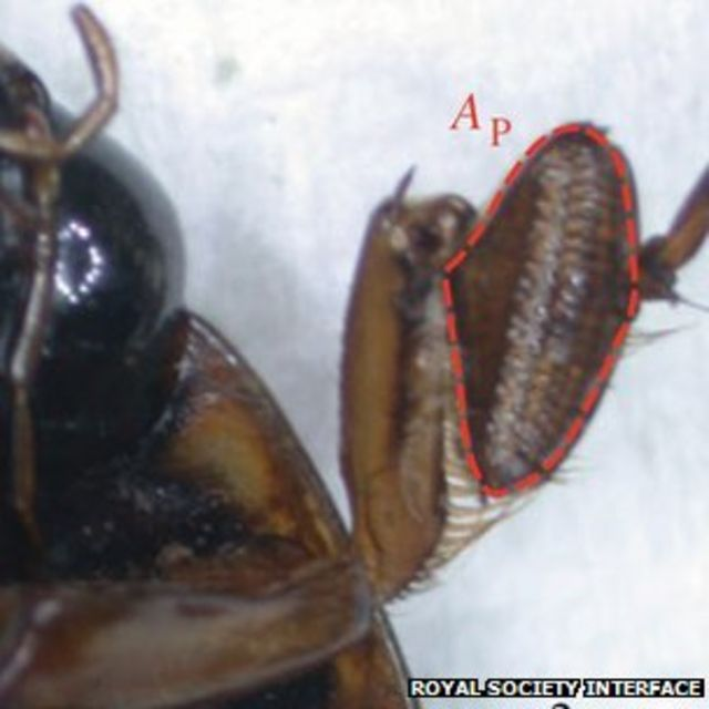 Diving beetle's sticky underwater mating secret
