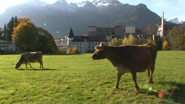 Brown Swiss cows