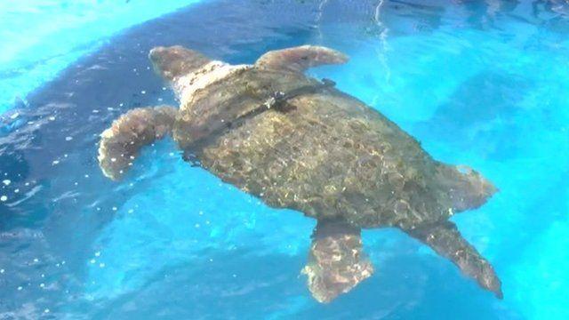 """""""Cabeção (Portuguese) or Big Head, the turtle"""
