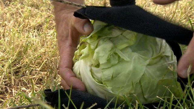 The cabbage is put in a catapult-like machine