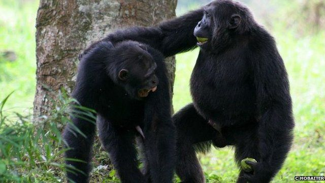 Chimps playing (c) Cat Hobaiter