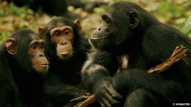 Chimpanzee language: Communication gestures translated