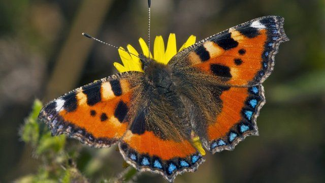 Small tortoiseshell butterfly in UK